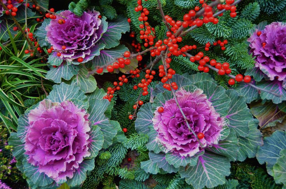 Ornamental Winter Cabbage