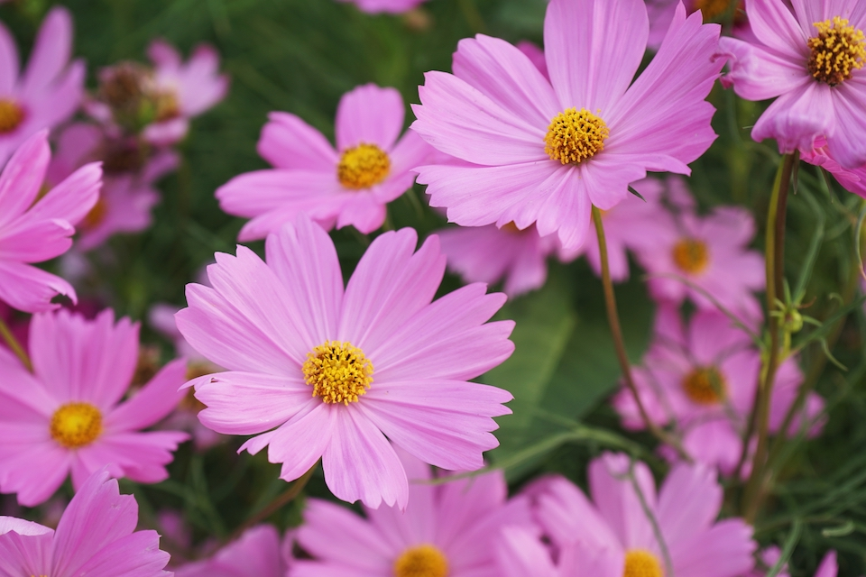 Beautiful pink cosmos flower