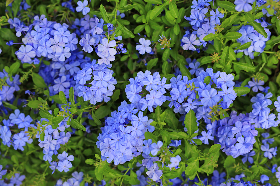 Close-up cape leadwort (Plumbago auriculata) flower in the garden