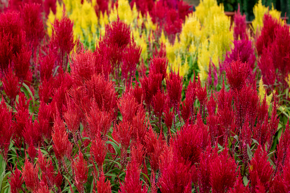 bedflower of beautiful Celosia Plume