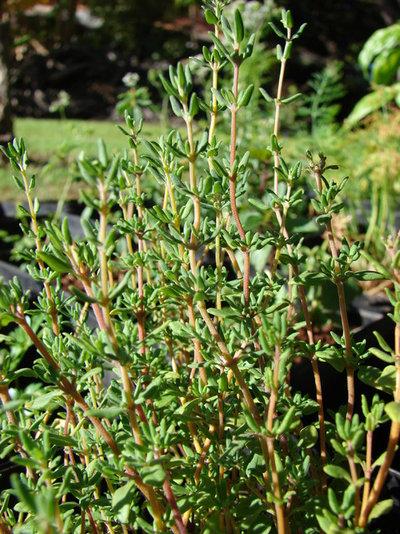 Landscape Thymus vulgaris